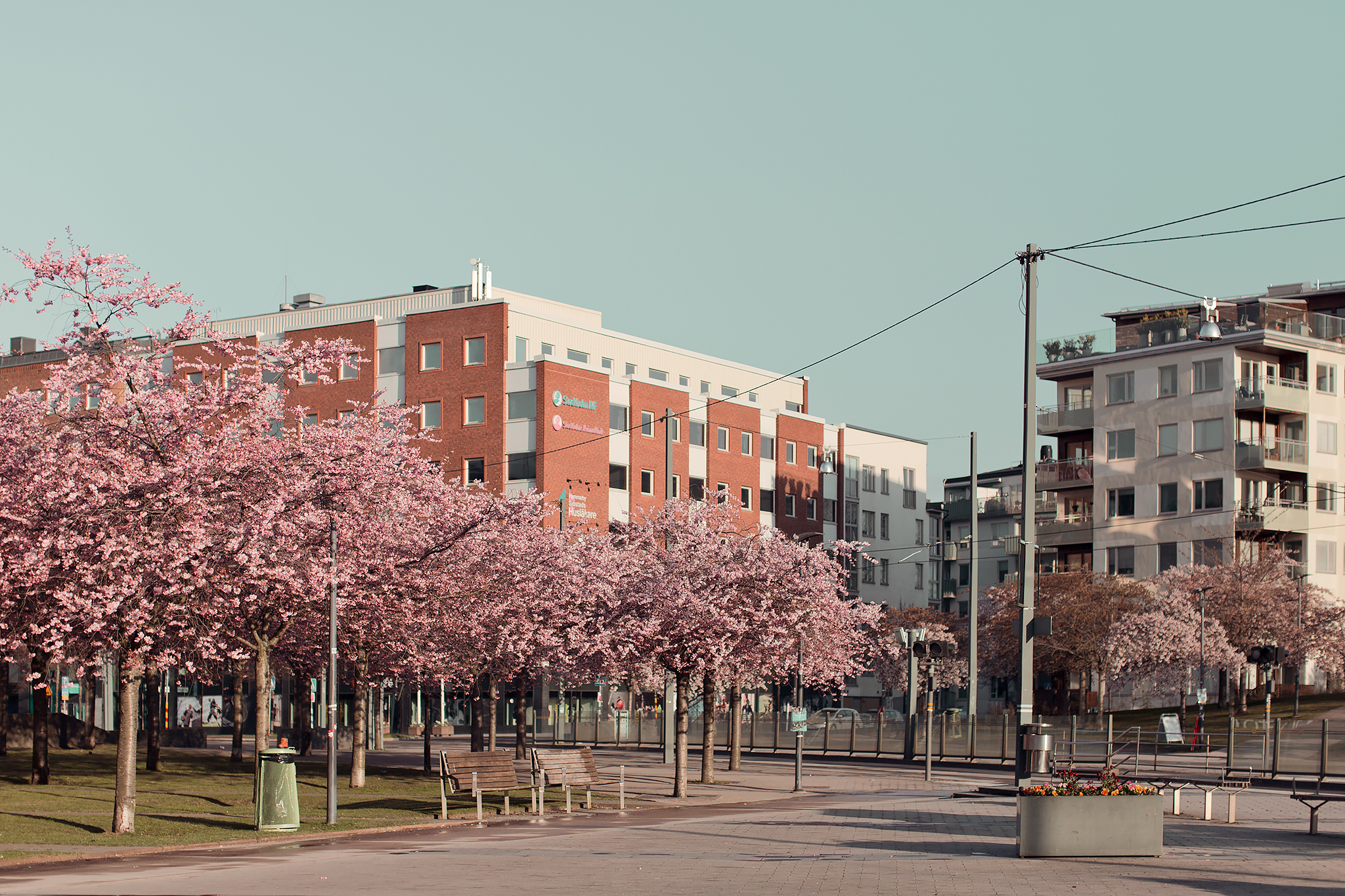 Lumaparken körsbärsträd