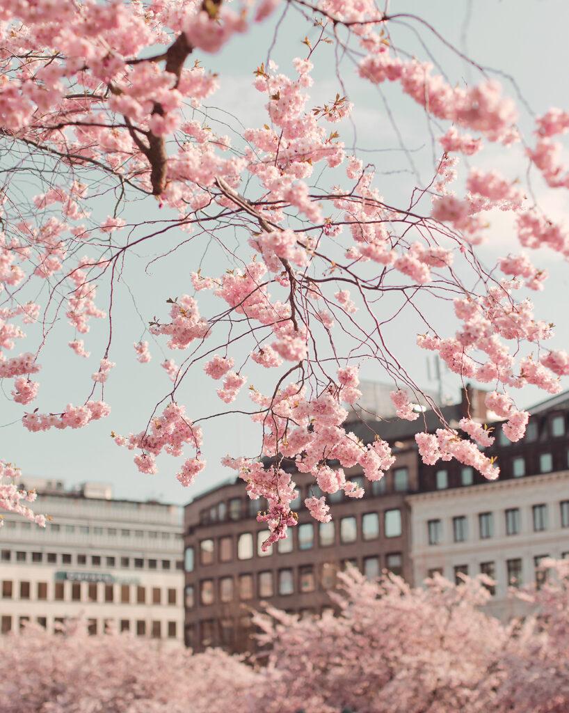 Kungsträdgården körsbärsträd Stockholm