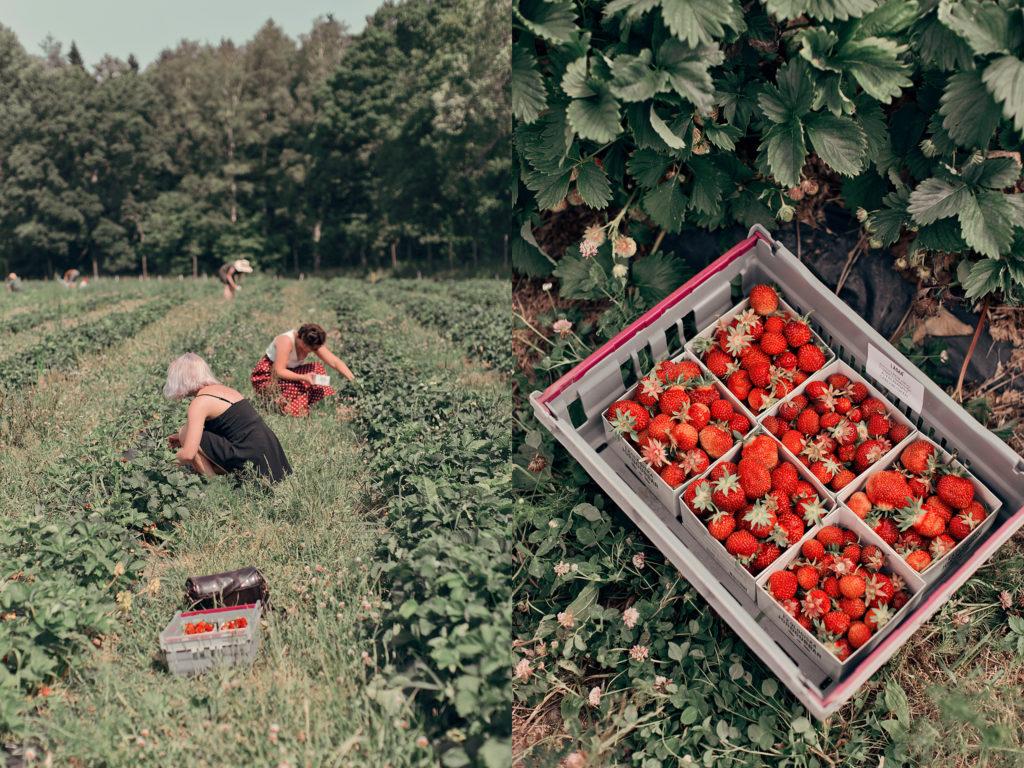 Självplock jordgubbar